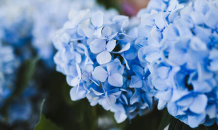 Taille hortensia : période favorable, procédure, conseils